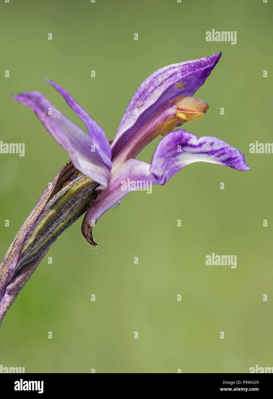 Violet Limodore (Limodorum abortivum), single flower, Canton of Geneva, Switzerland - Stock Image