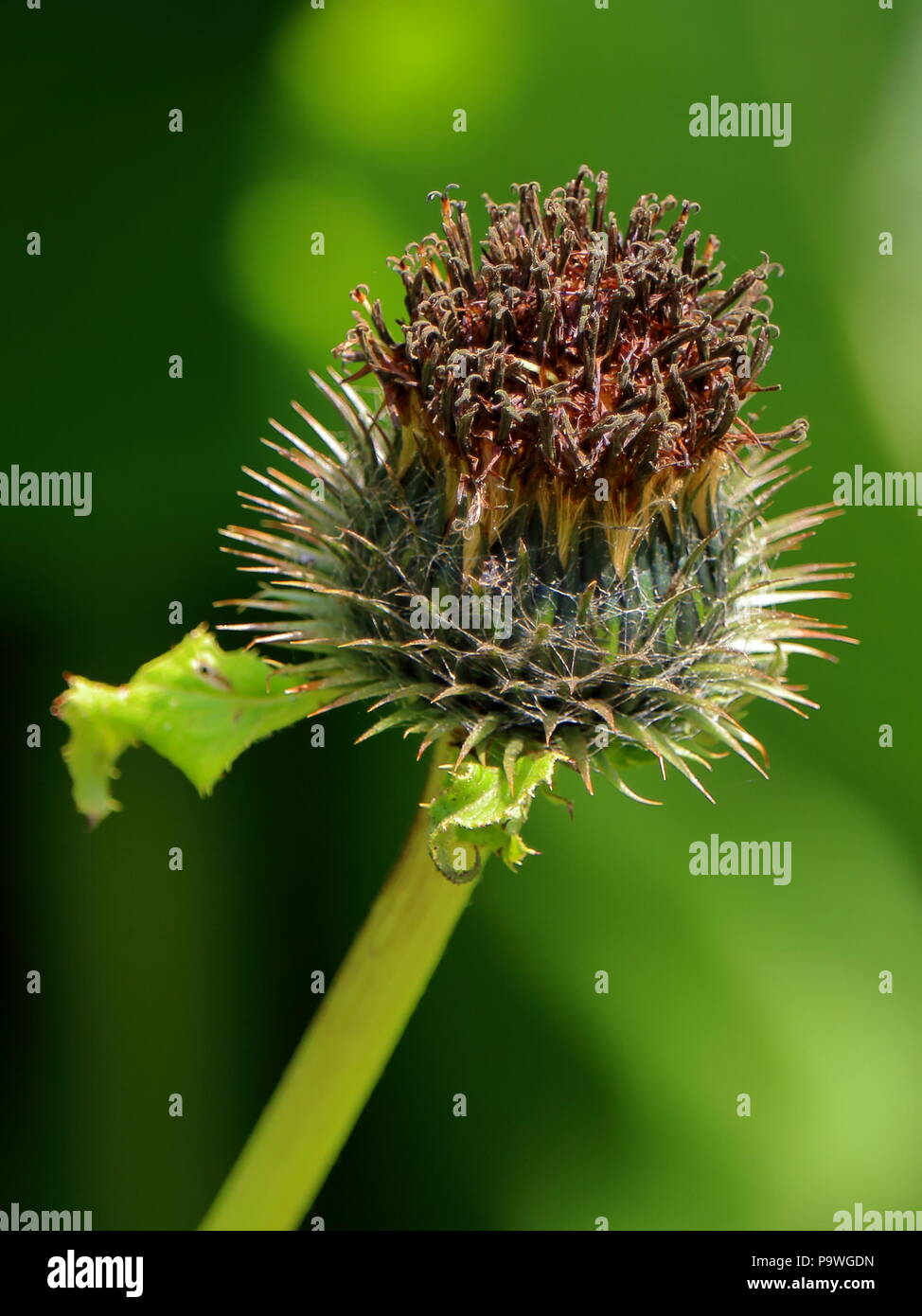 Costus, species of thistle, medicinal plant native to India - Stock Image