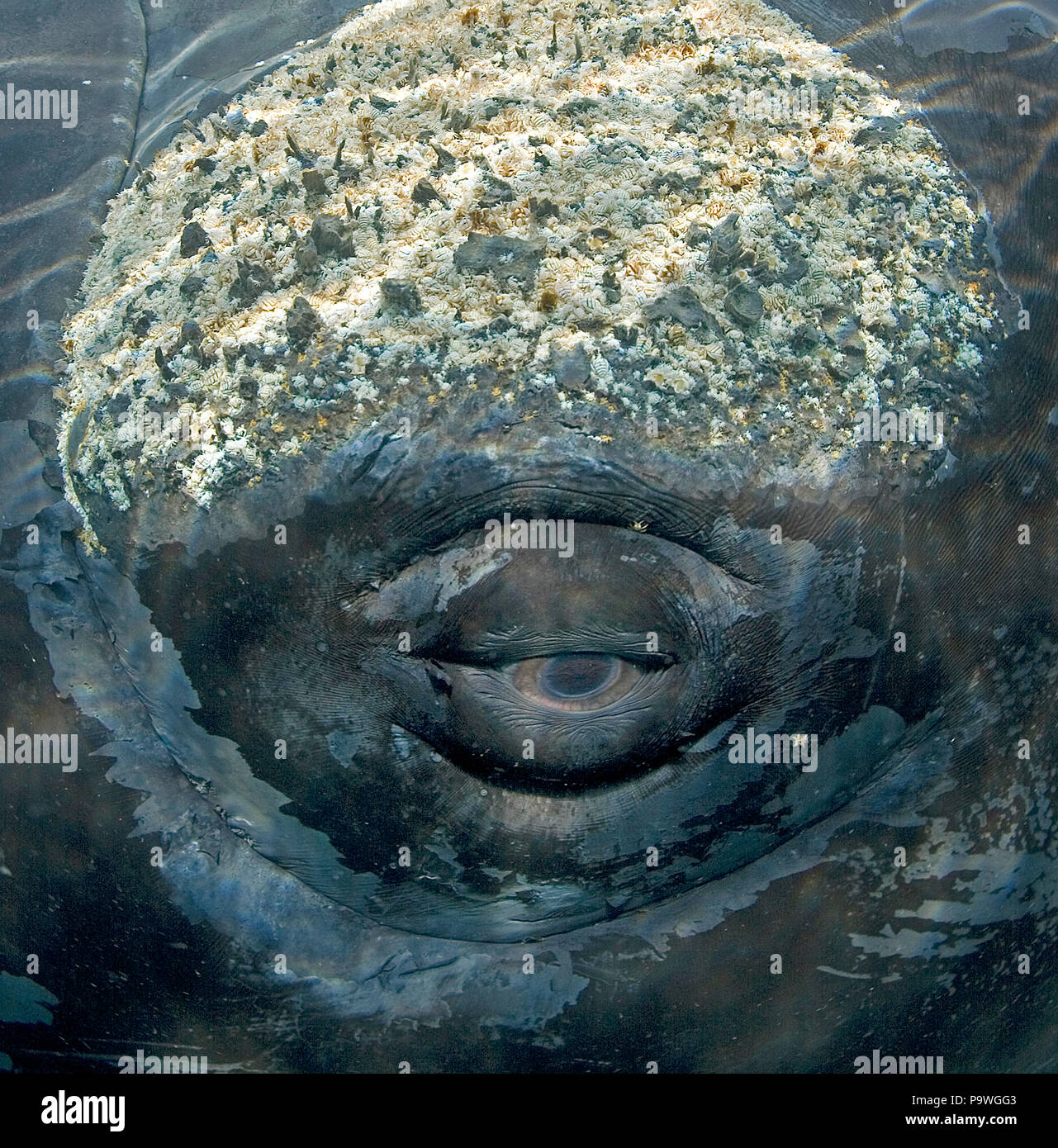 Barnacles And Whale Stock Photos & Barnacles And Whale ...