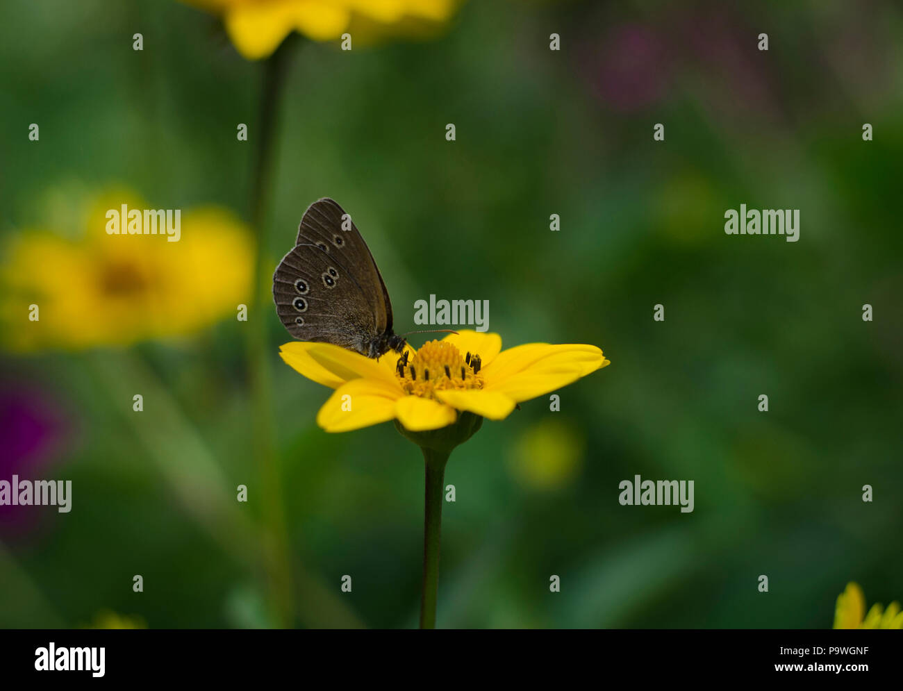 Aphantopus hyperantus butterfly sitting on the yellow flowers of sunflower aster family, Chrysopsis known as golden asters or Heterotheca villosa, mac - Stock Image