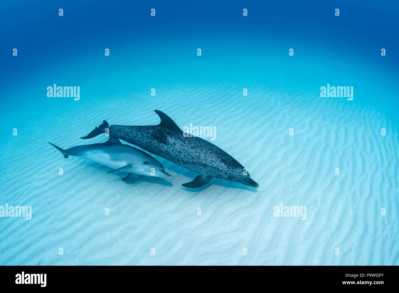 Atlantic spotted dolphin (Stenella frontalis) with young animal over sandy bottom, Bahama Banks, Bahamas - Stock Image