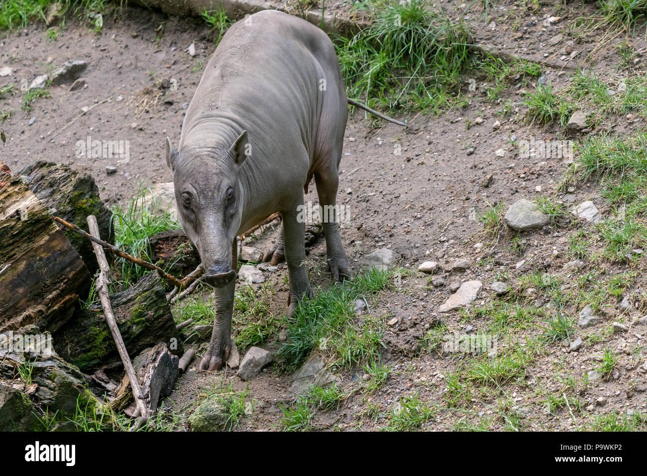 Babirusa Celebes (Babyrousa babyrussa) endangered animal species. Female Buru bairusa - Stock Image