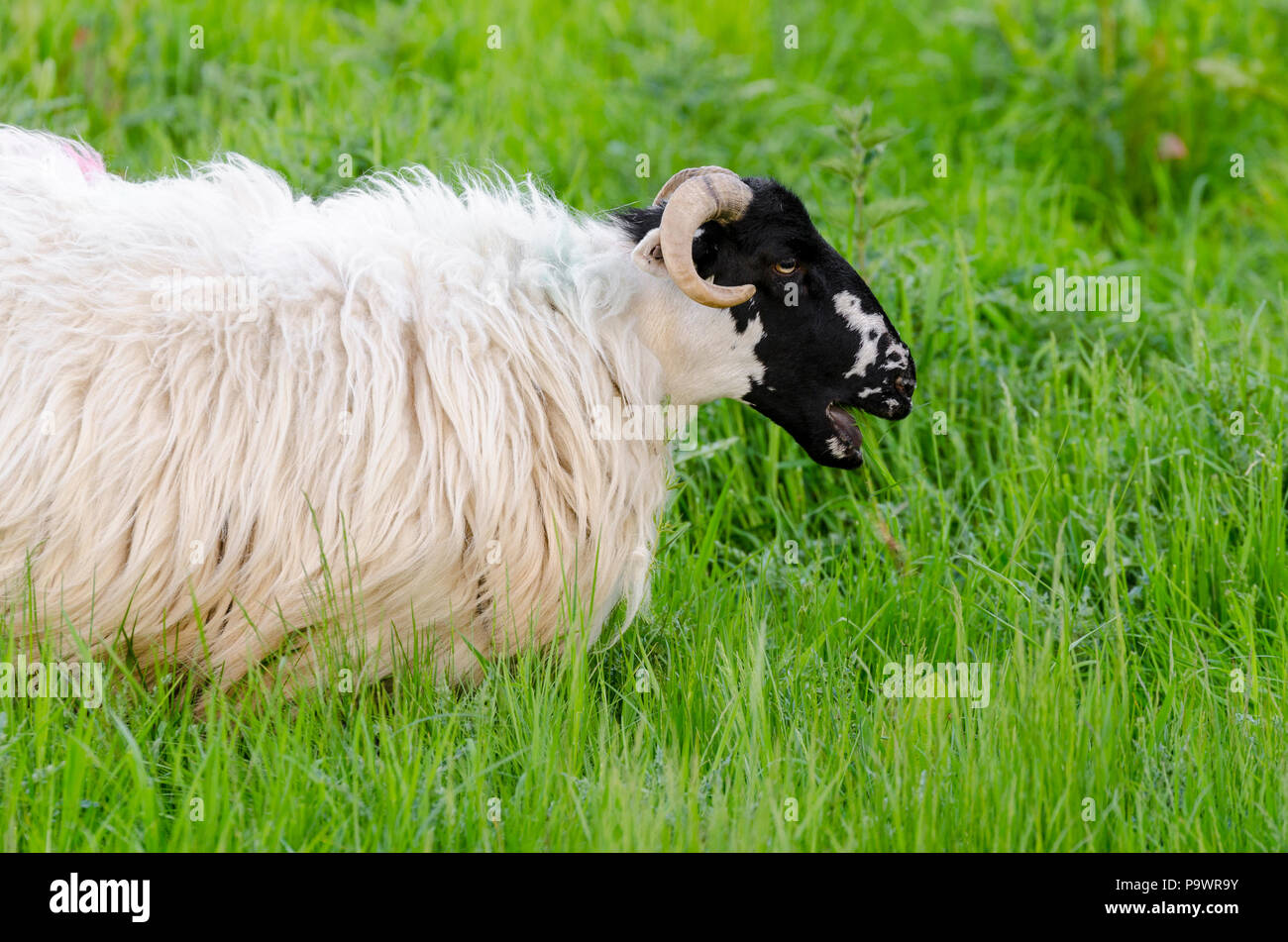Scottish Blackface Sheep, Ovis aries, eating long grass in  the UK - Stock Image