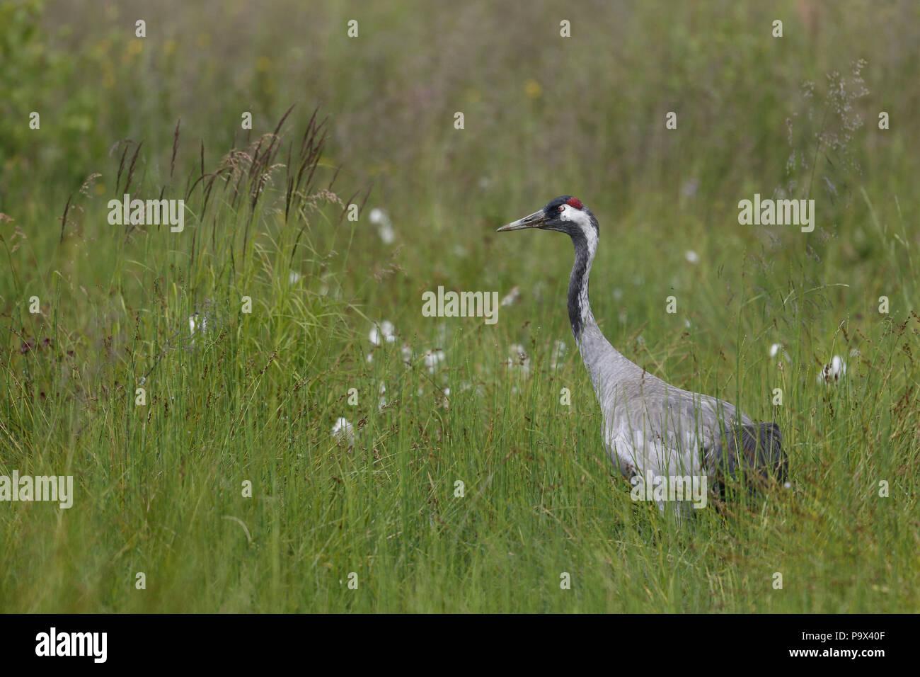Common Crane, Grus grus in damp meadow Stock Photo
