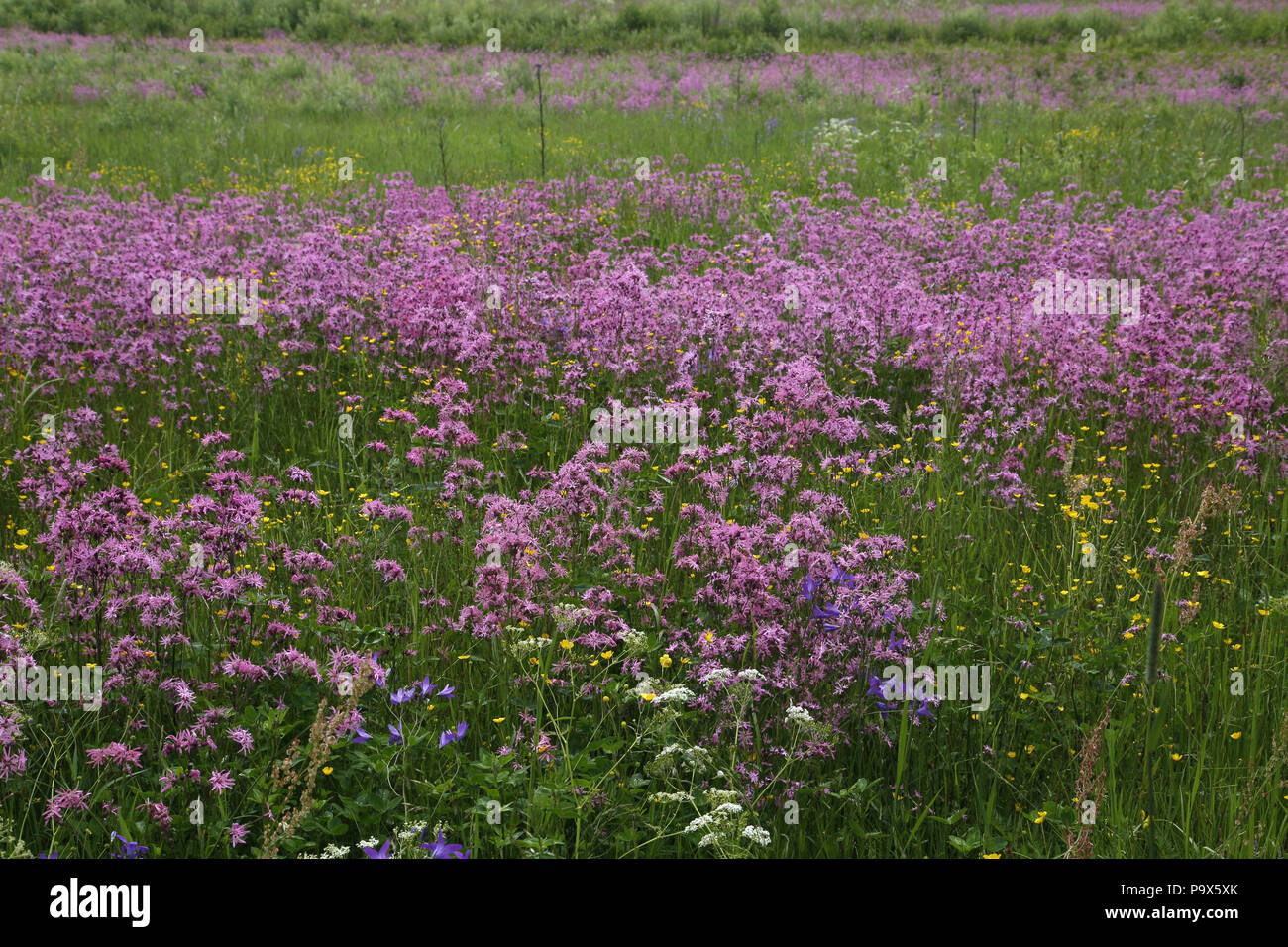 Stand of Ragged Robin, Lychnis flos-cuculi - Stock Image