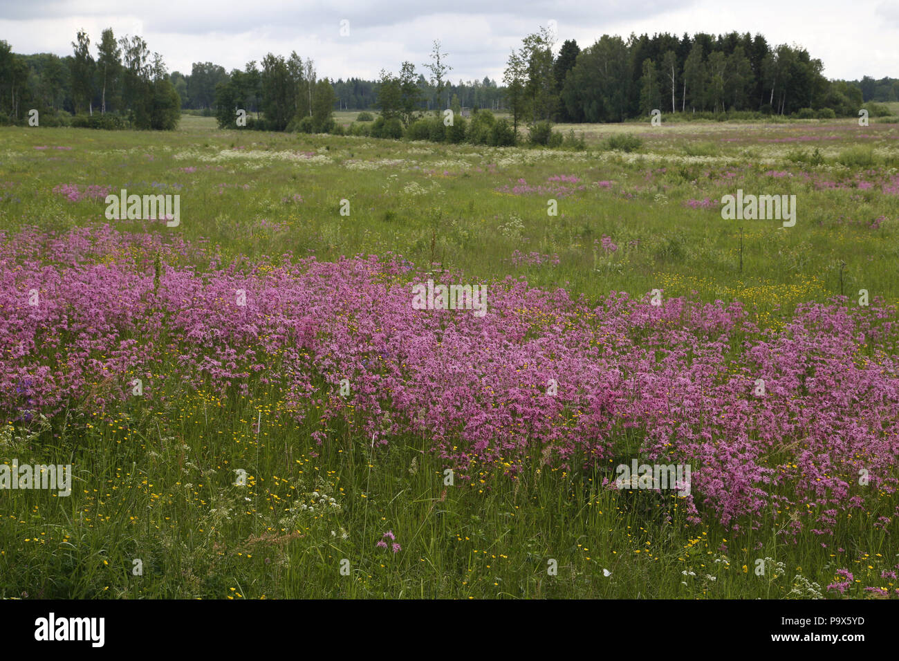 Swedish landscape with stand of Ragged Robin, Lychnis flos-cuculi - Stock Image