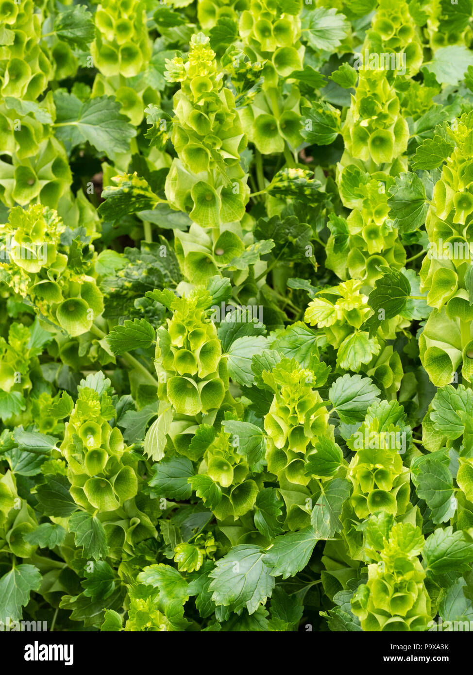Green flowers in the upright spikes of the hardy annual flower arranger's bloom, Bells of Ireland, Moluccella laevis - Stock Image