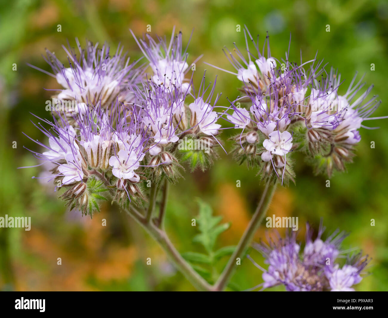 Fast growing stock photos fast growing stock images alamy pale lavender coloured flowers of the insect attracting hardy annual flower arrangers blooms izmirmasajfo