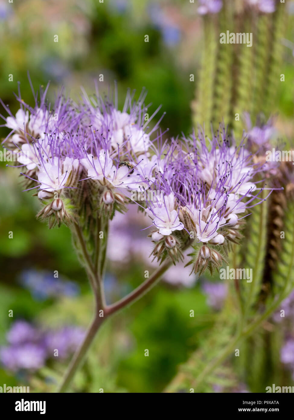 Pale lavender coloured flowers of the insect attracting hardy annual pale lavender coloured flowers of the insect attracting hardy annual flower arrangers blooms phacelia tanacetifolia izmirmasajfo