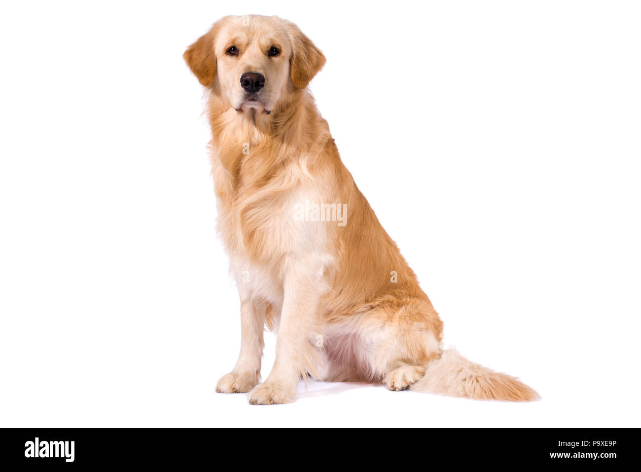 Purebred Golden Retriever isolated sitting looking at camera Stock Photo