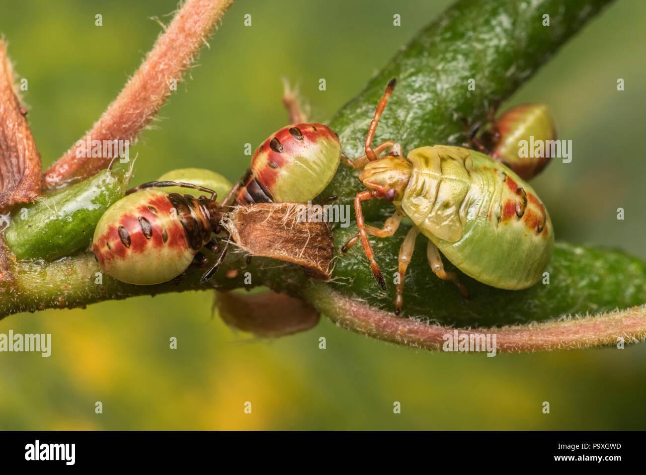 Birch Shieldbug early instar nymphs and one mid instar nymph (Elasmostethus interstinctus) on birch tree. Tipperary, Ireland - Stock Image
