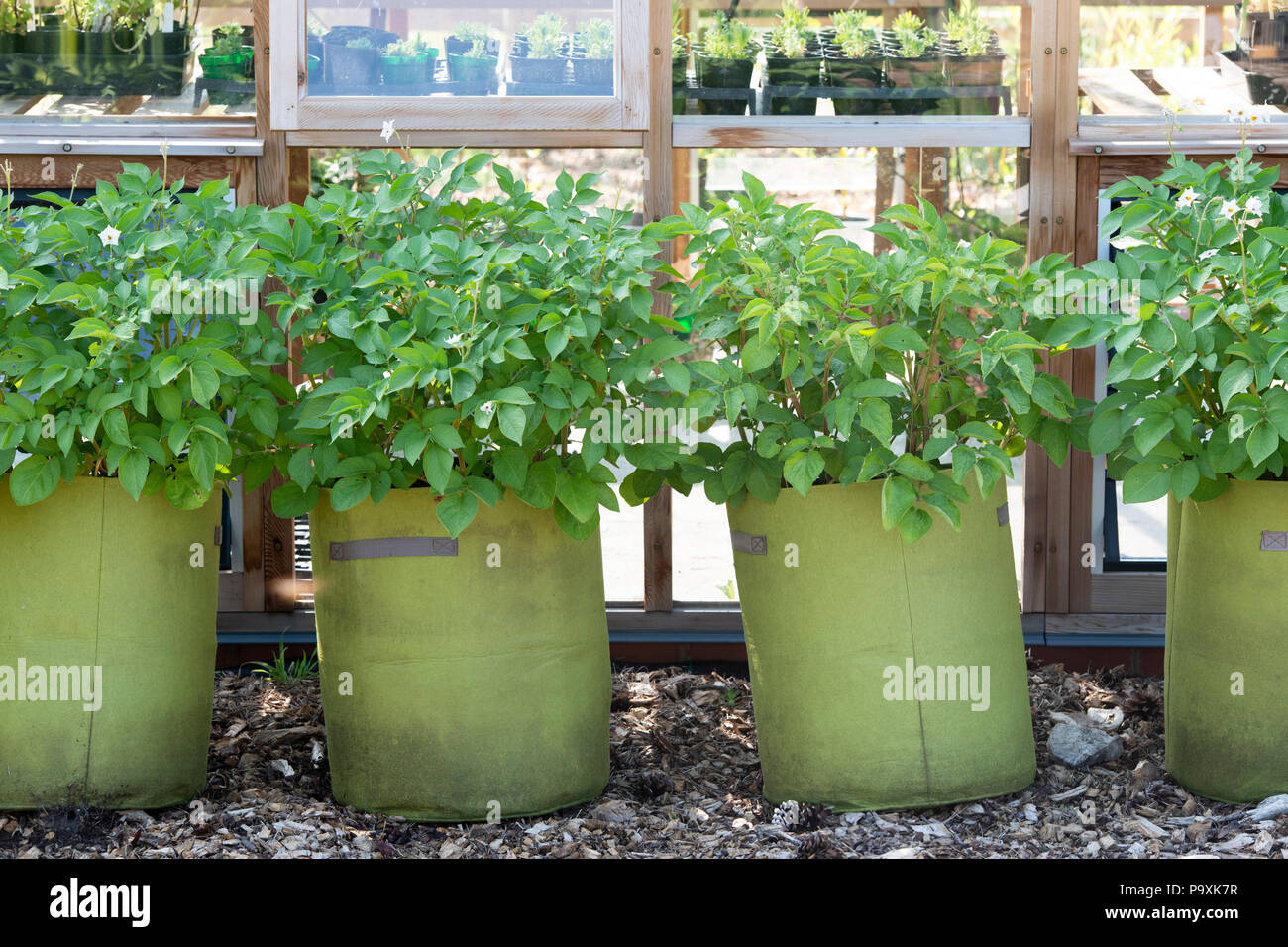 how to plant potatoes in a grow bag