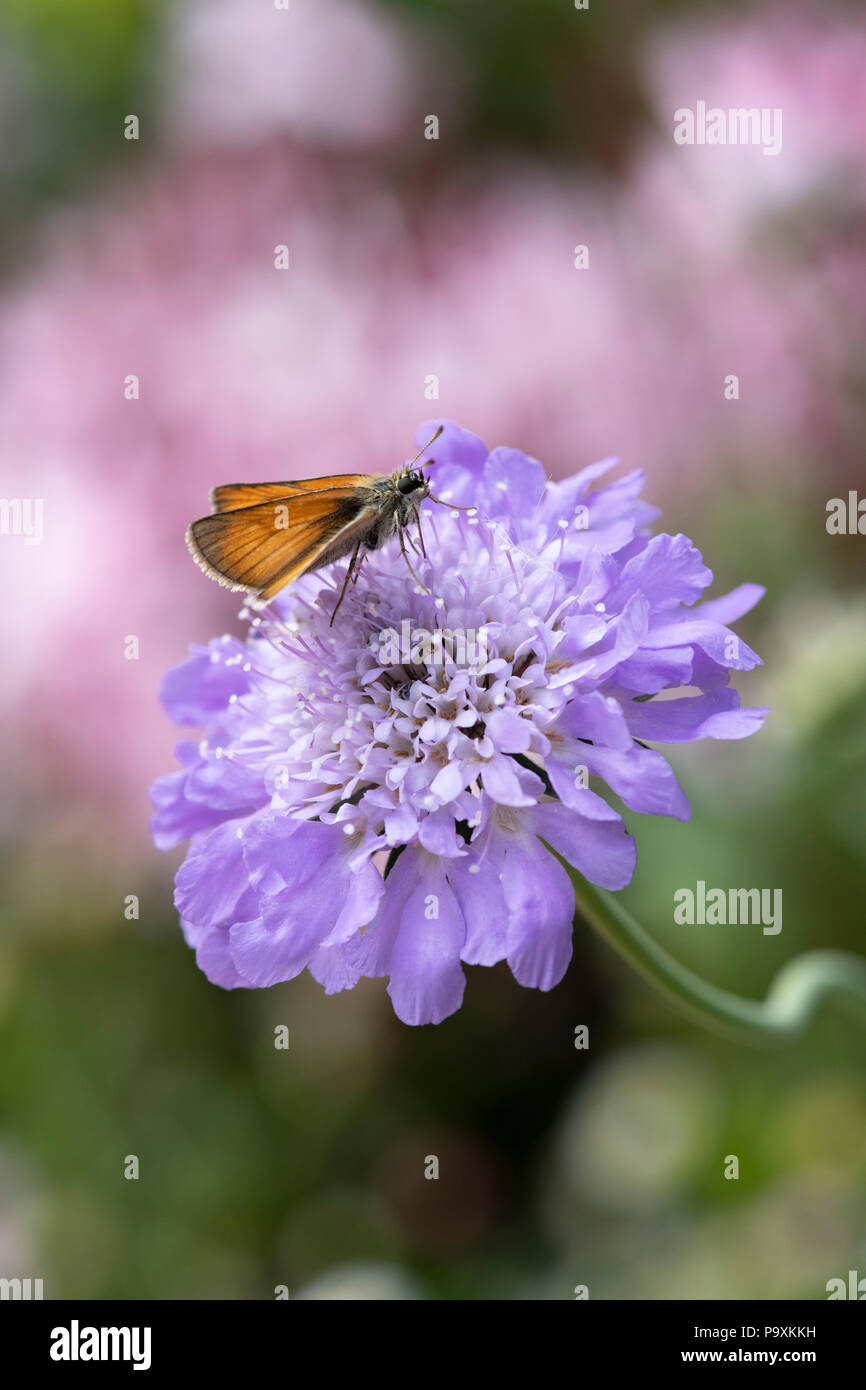 Thymelicus sylvestris. Small Skipper butterfly on a scabious flower - Stock Image