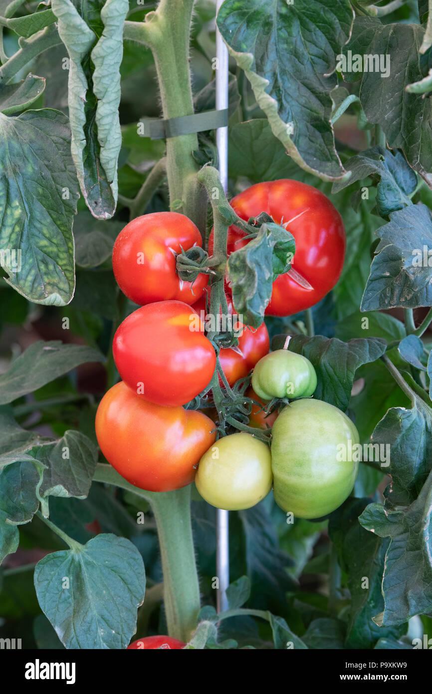 Solanum lycopersicum. Tomato 'Oh happy day' plant with ripe and unripe tomatoes. UK - Stock Image