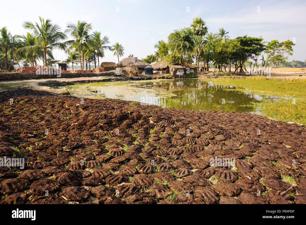 Cow dung belonging to subsistence farmers in the Sundarbans, a low lying area of the Ganges Delta in Eastern India, that is very vulnerable to sea level rise. The cow dung is used as biofuel in traditional clay ovens - Stock Image
