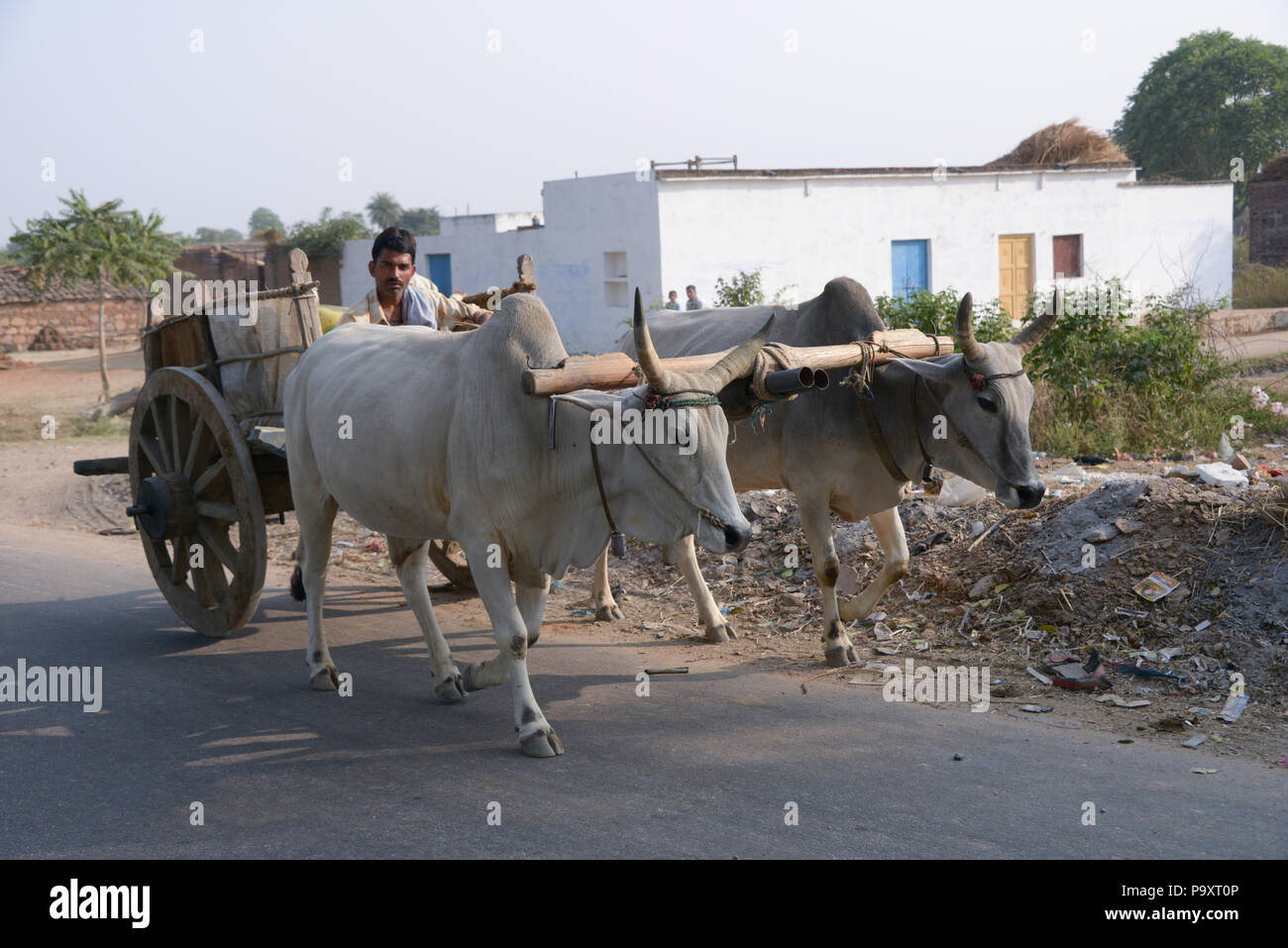 Local farmer walks behind  his two wheeled cart pulled by his two cows in India - Stock Image