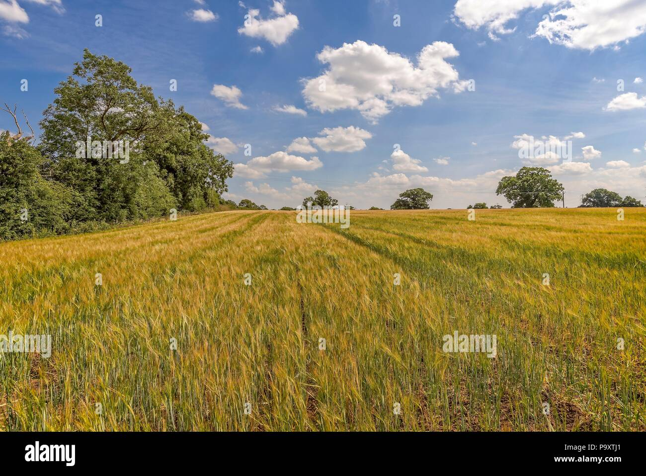 Striped field of ripening crops in the early afternoon with the sun overhead. - Stock Image