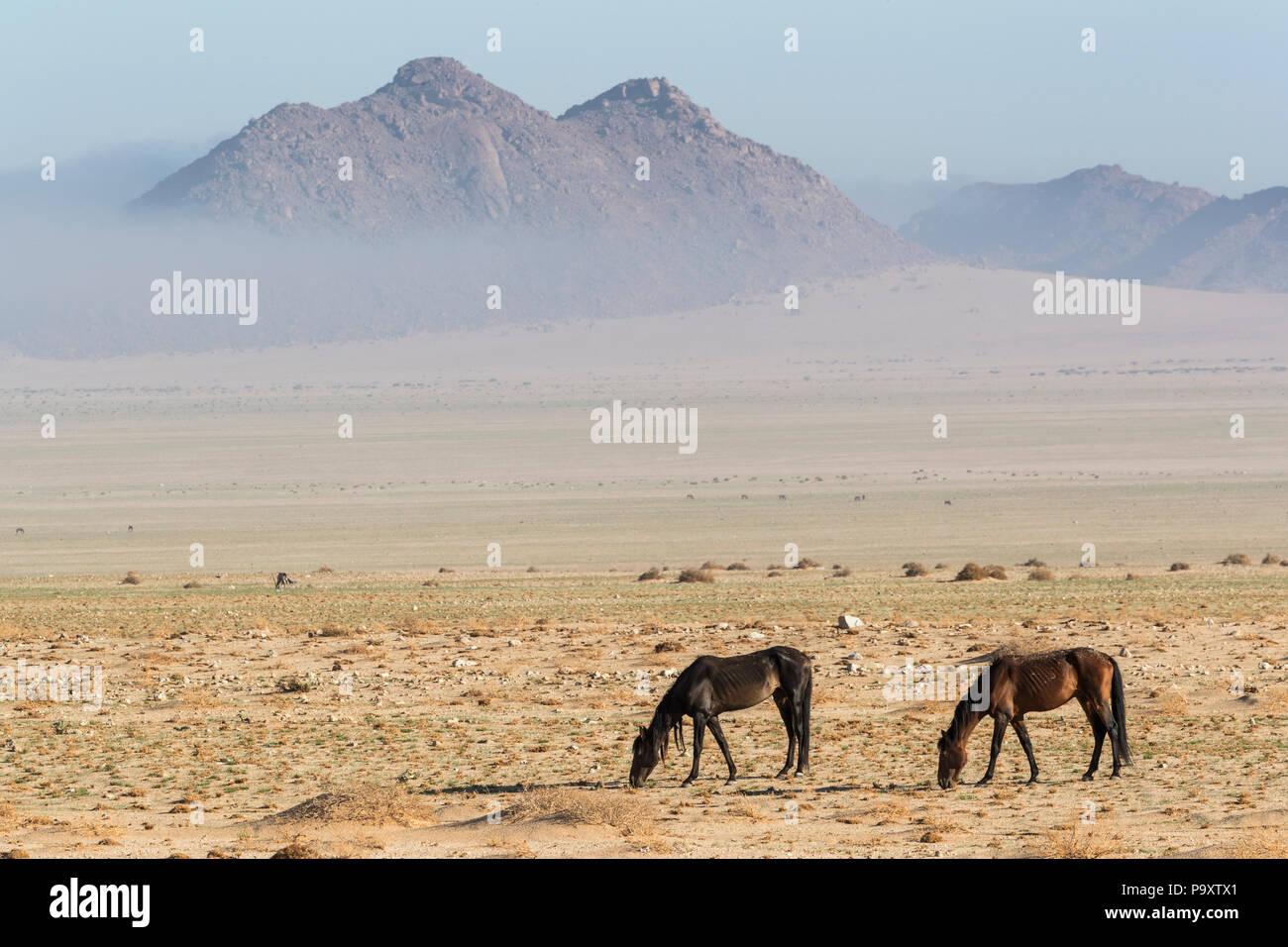 Wild horses, Aus, Namibia, - Stock Image