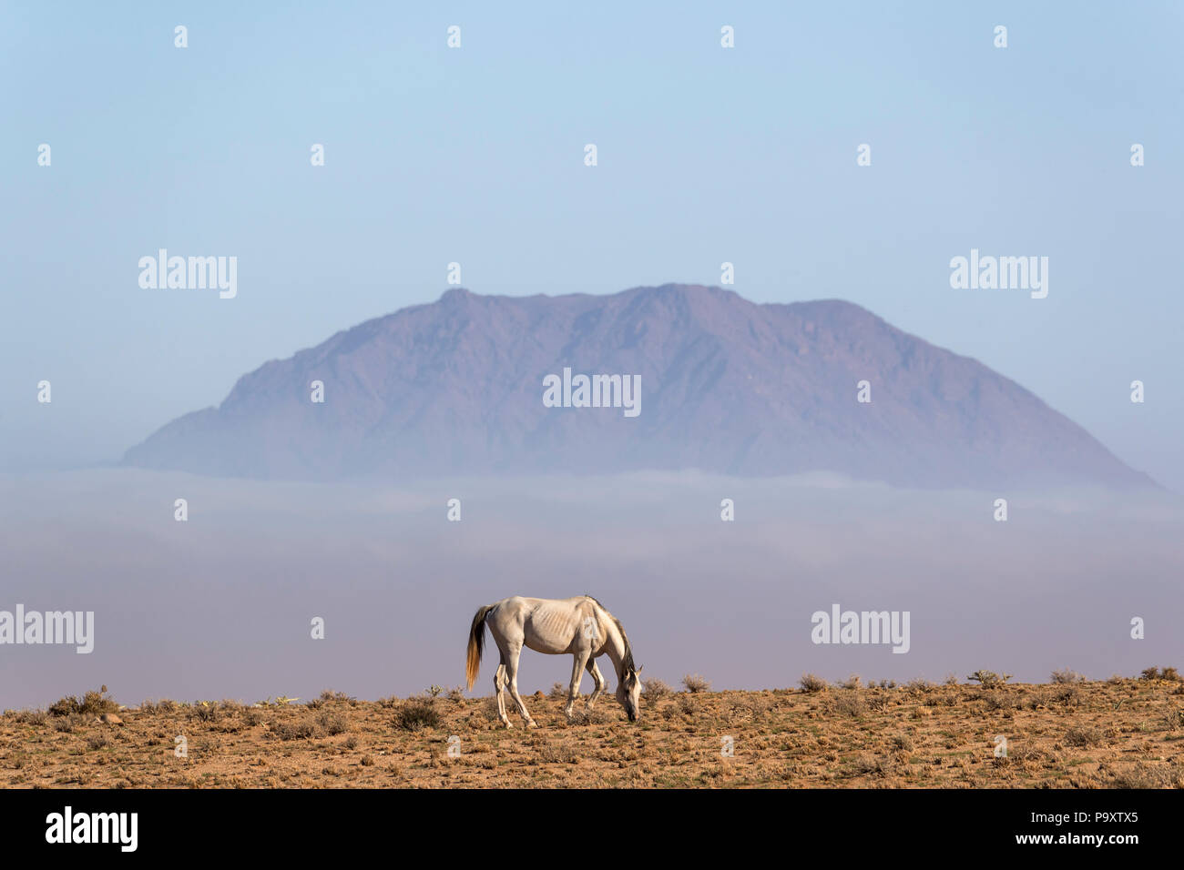 Wild horse, Aus, Namibia, - Stock Image