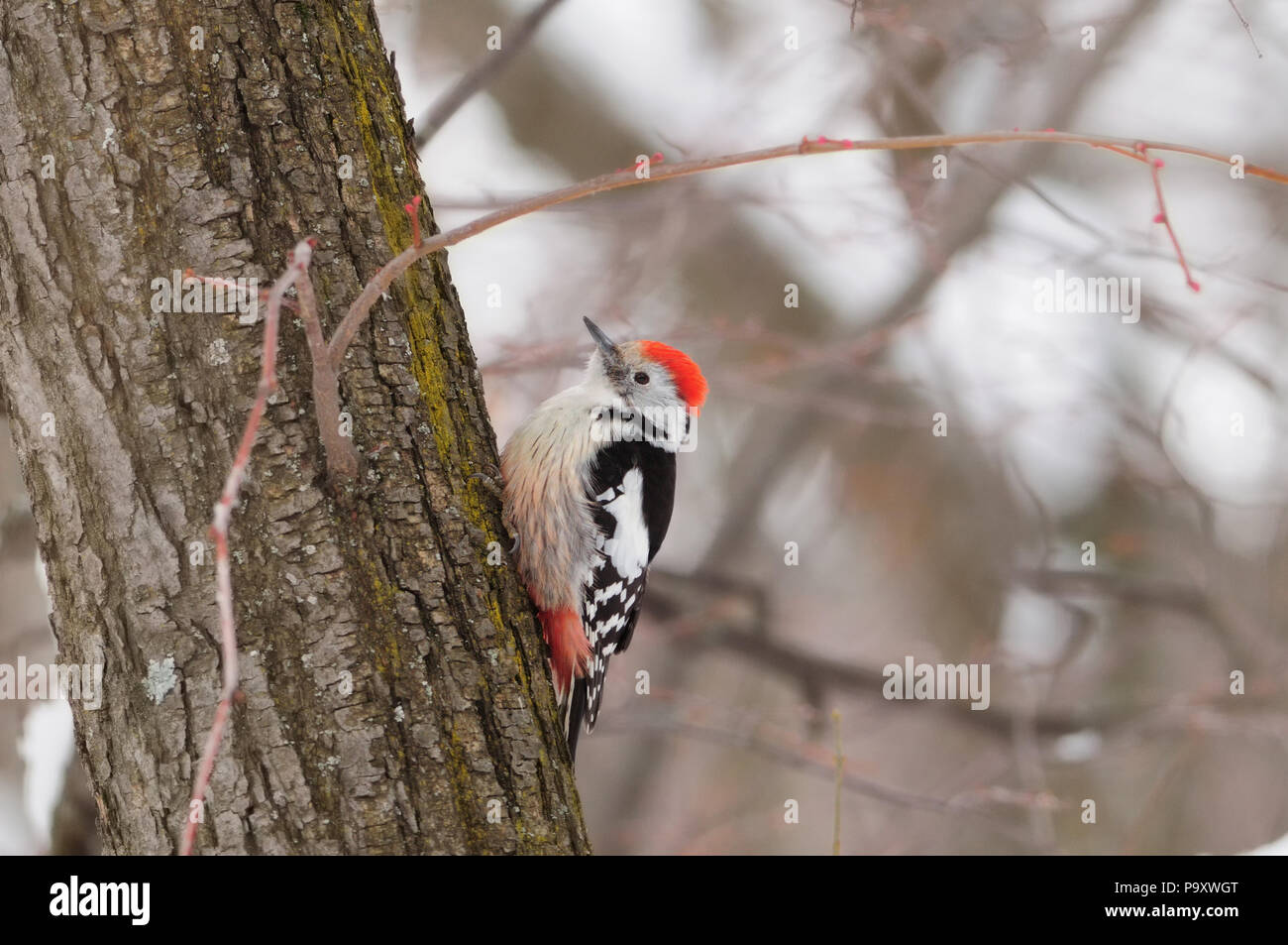 Middle spotted woodpecker (Dendrocoptes medius) siting on a tree on a blurred forest background. Stock Photo