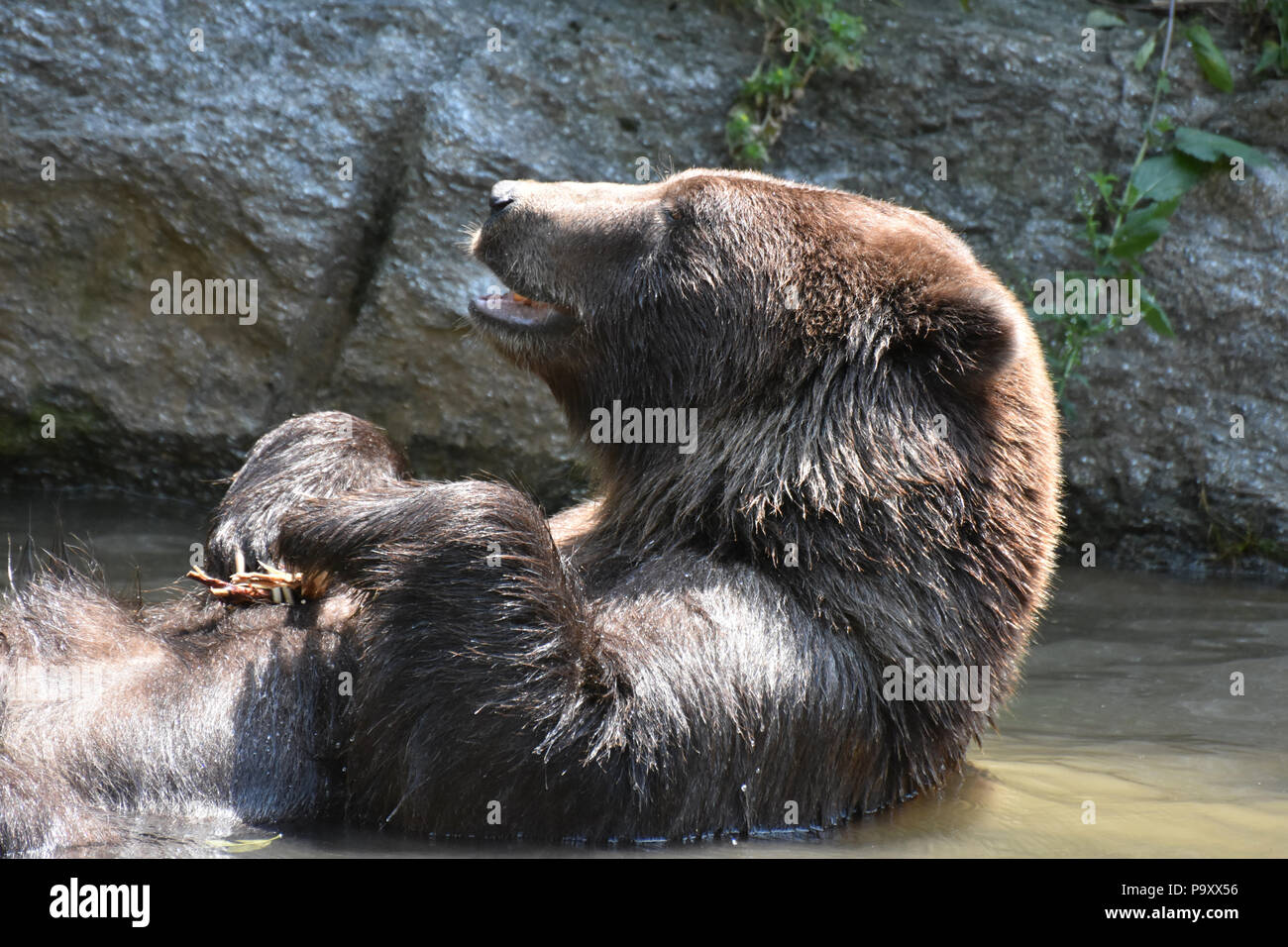 Wild silvertip grizzly bathing with its mouth open - Stock Image