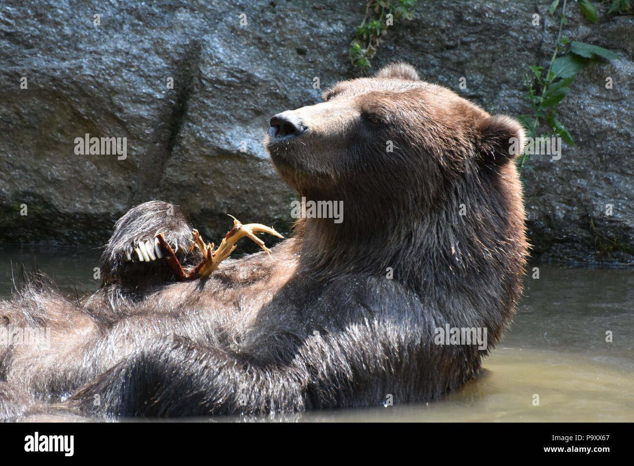 Wild brown silvertip grizzly floatiing in the water - Stock Image