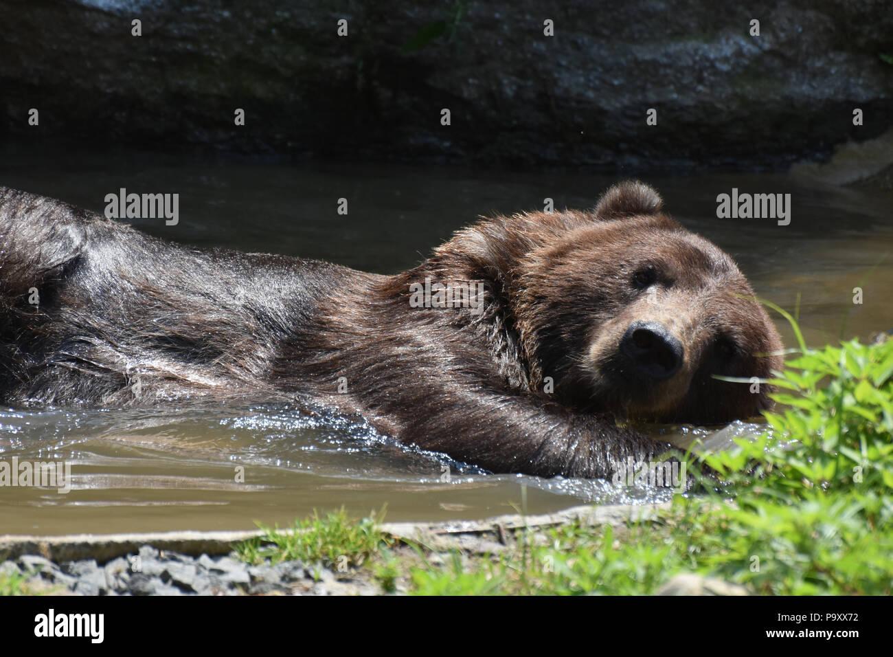 Wild silvertip bear bathing in the water - Stock Image