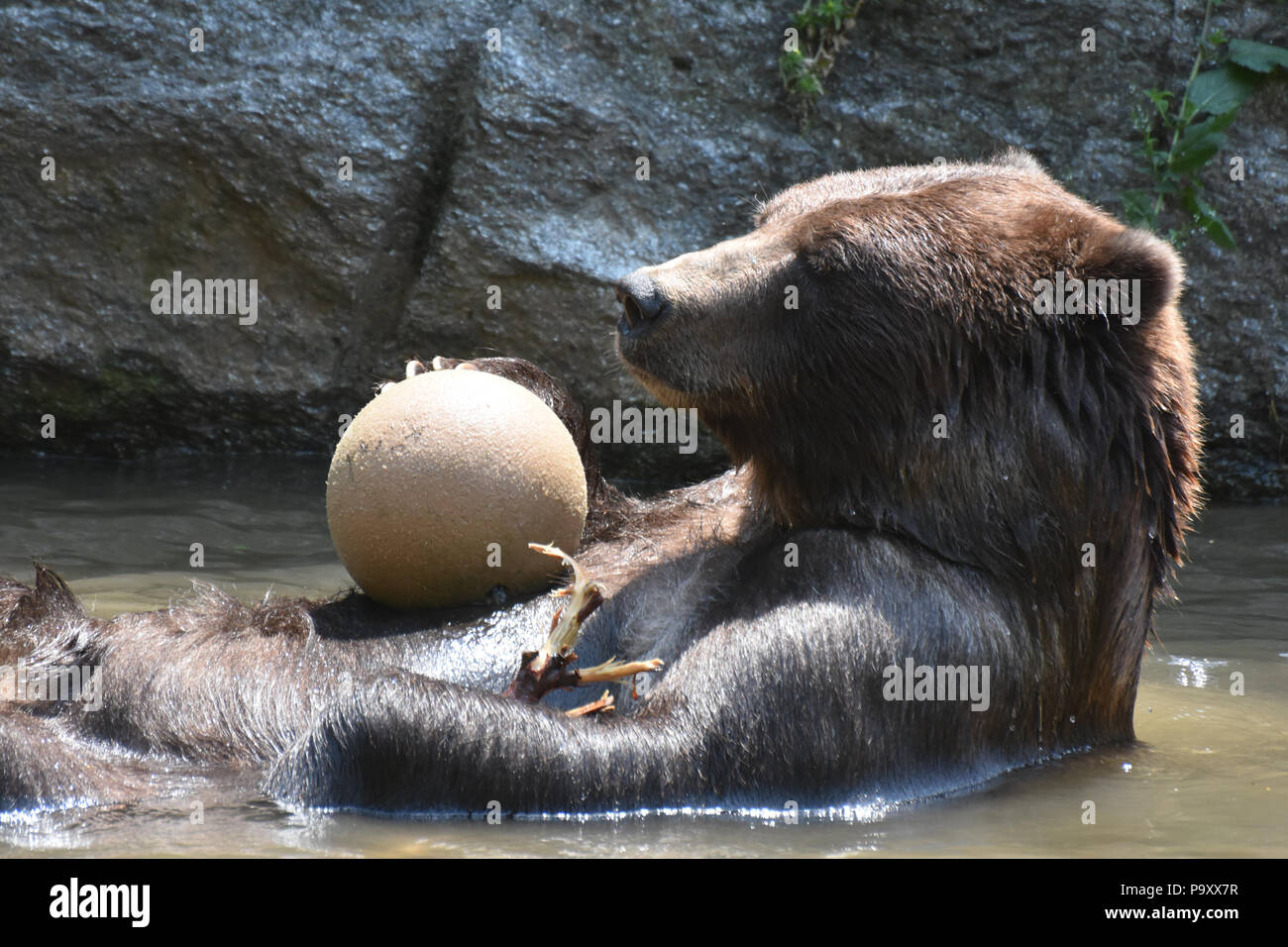 Silvertip grizzly playing with a ball in the water - Stock Image