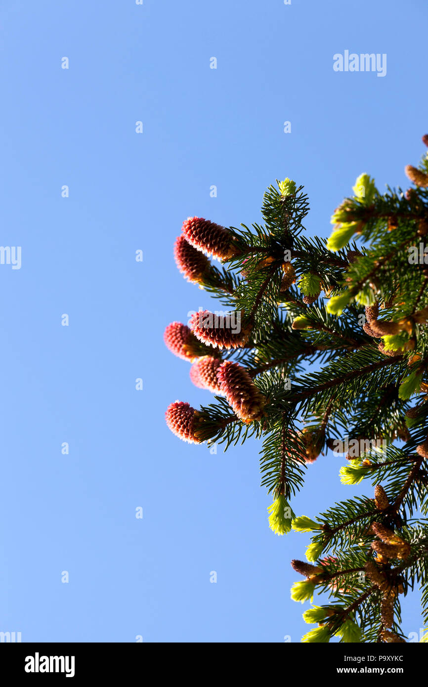 top of a high spruce with green foliage and new red cones against the blue sky, warm spring weather Stock Photo