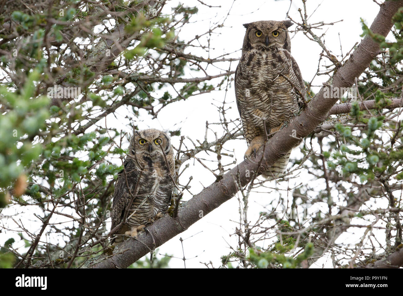 great horned owl (Bubo virginianus) - Stock Image