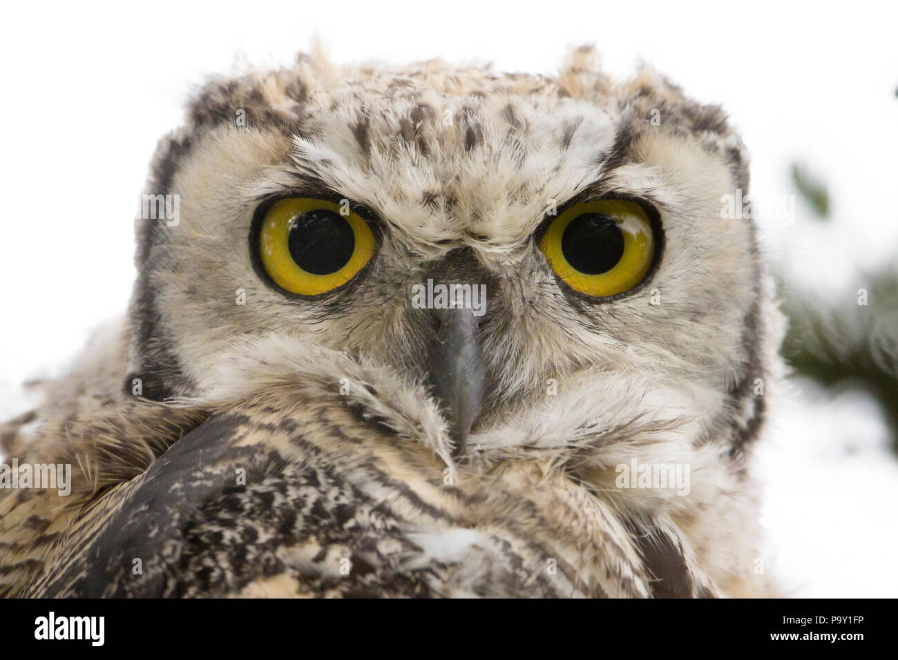 Close up, great horned owl (Bubo virginianus) - Stock Image