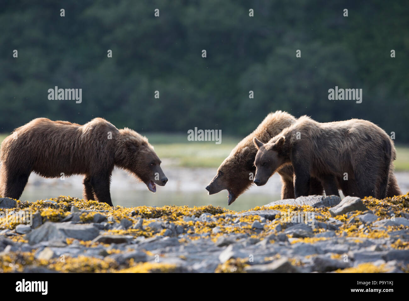 The bears having a stand off, shoreline of Katmai National Park - Stock Image