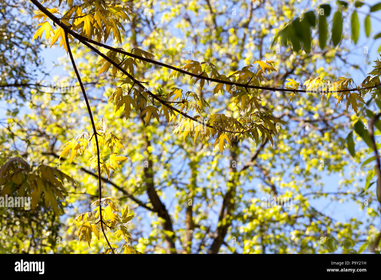 Spring Trees With New Budding Leaves Oak Branches With Beautiful