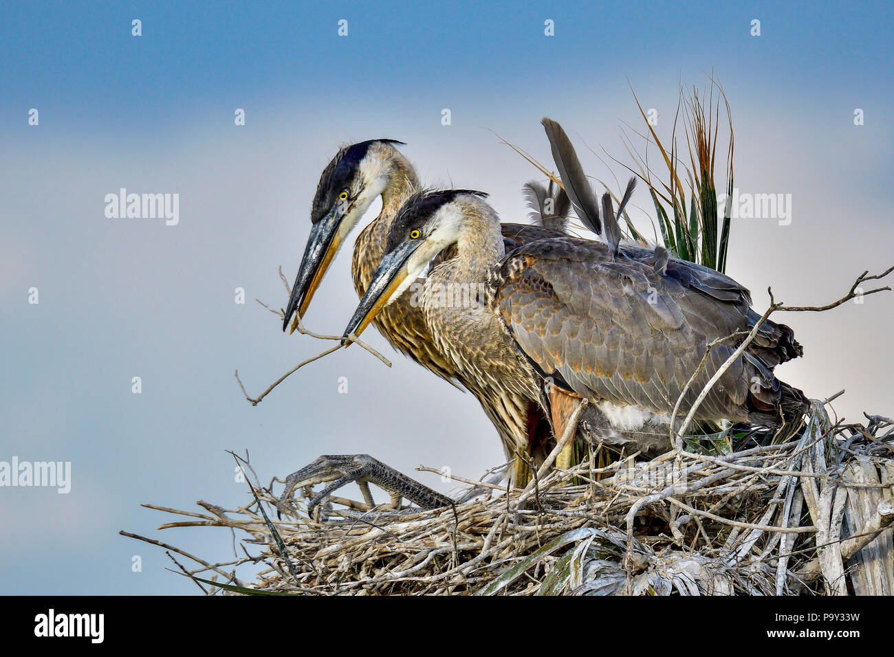 Great Blue Heron youngsters are doing homework assignment together. - Stock Image