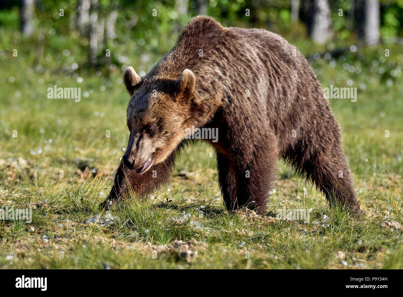 Brown bear is crossing the swamp. Stock Photo