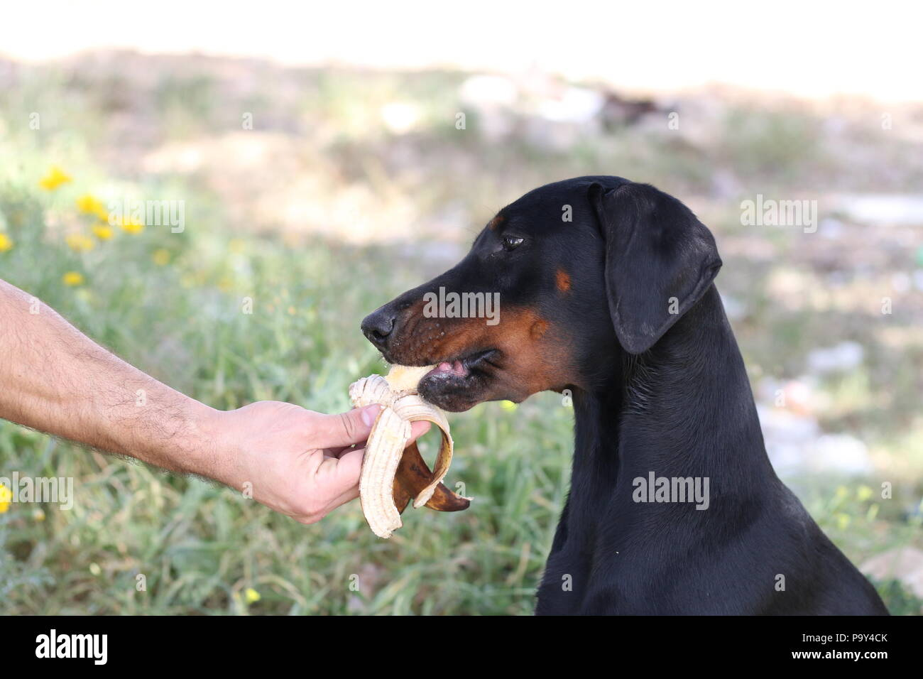 A dog is eating a banana from her ownr's hand - Stock Image