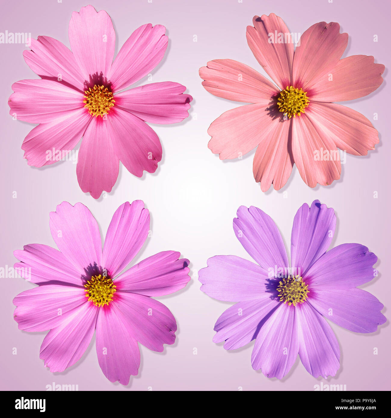An image of four nice and beautiful flowers in front of a white and an image of four nice and beautiful flowers in front of a white and pink background izmirmasajfo