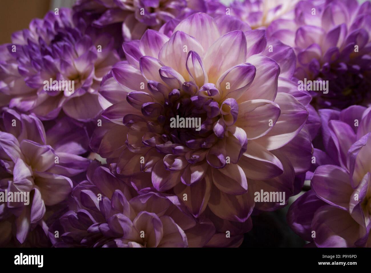 Macro Purple Dahlia Flowers Blossom Stock Photos Macro Purple
