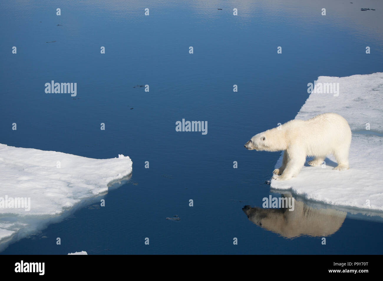 Polar Bear walking on the frozen Arctic Ocean near Svalbard - Stock Image