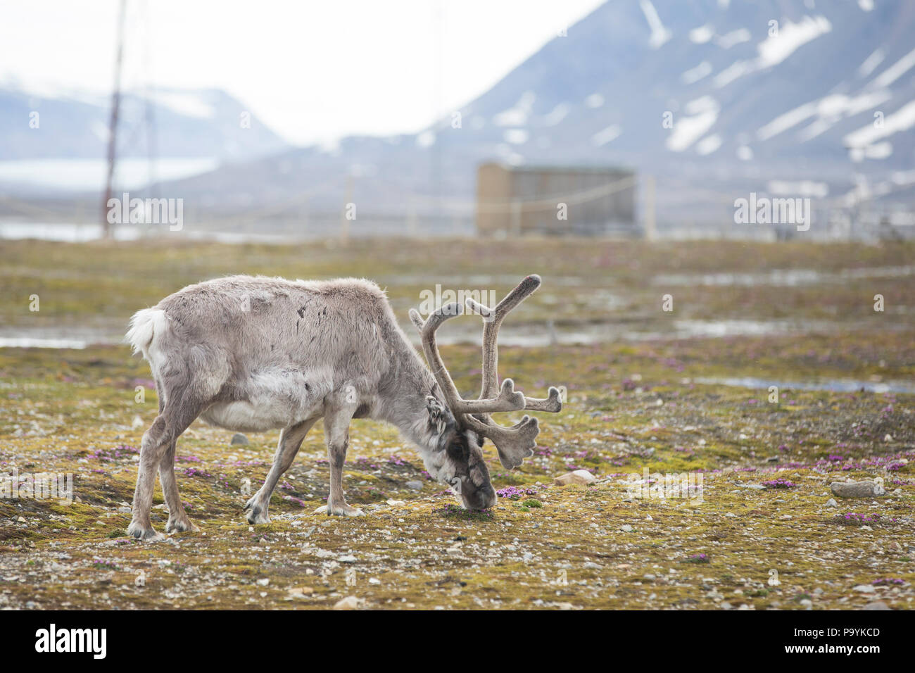 Reindeer, Svalbard - Stock Image