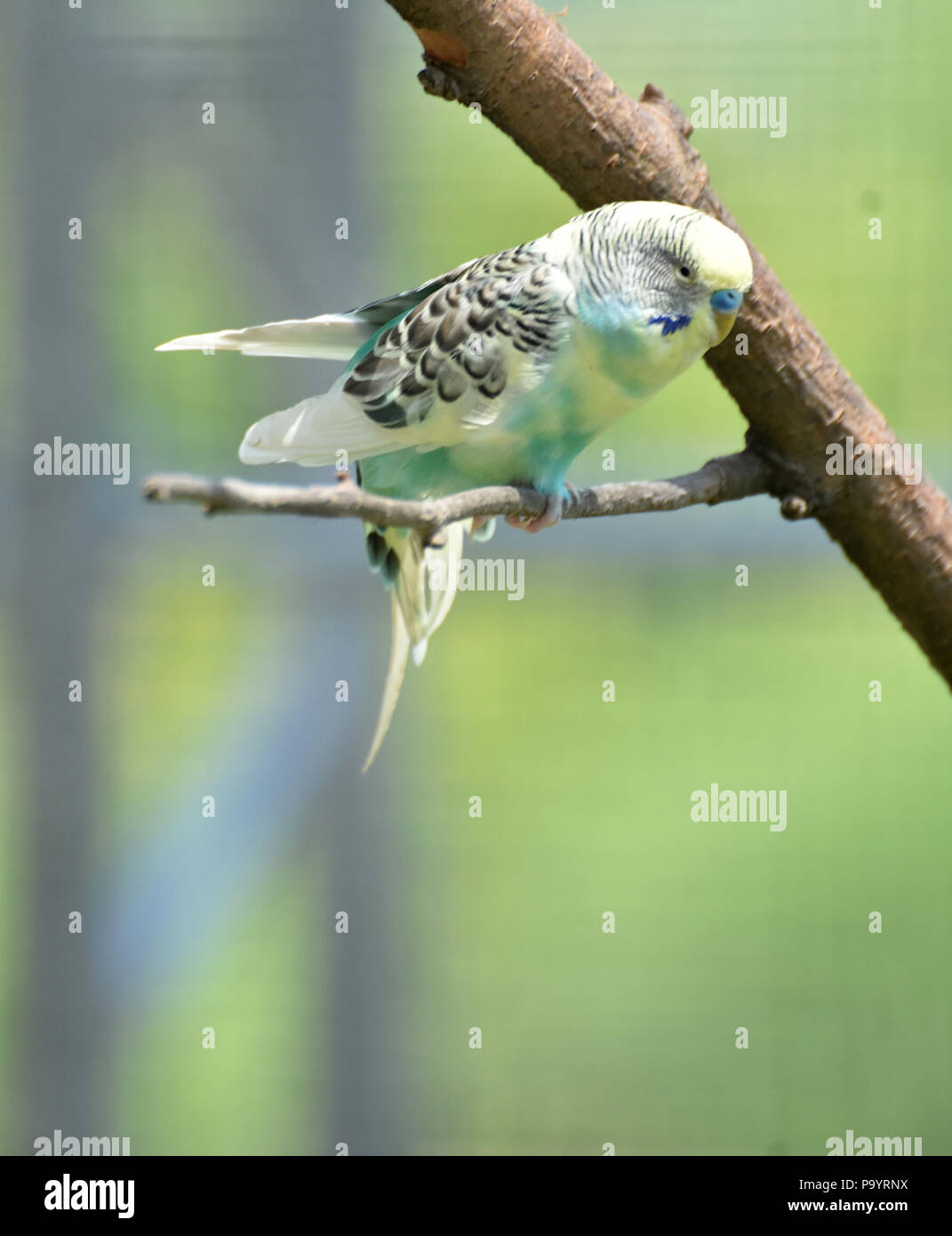 Precious and pretty pastel colored common parakeet bird. - Stock Image