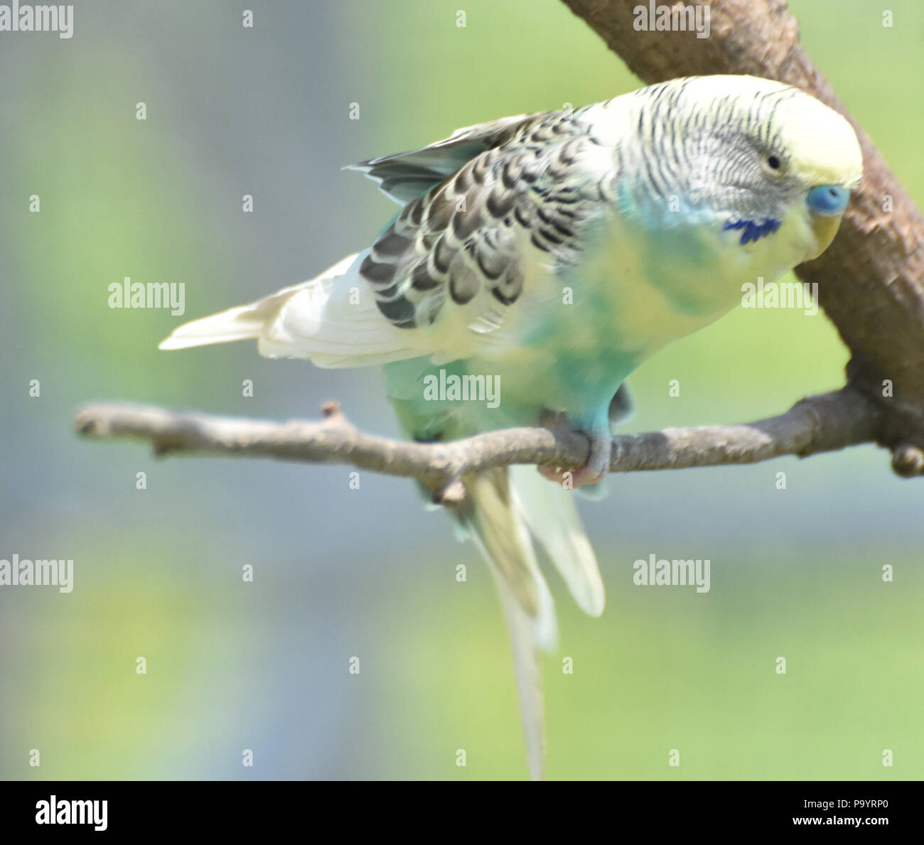 Budgie with ruffled feathers and wings partially extended. - Stock Image