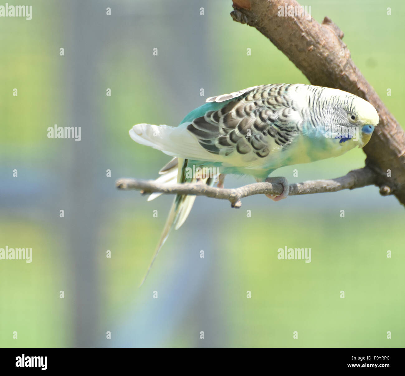 Pretty pastel budgie balancing on a tree perch. - Stock Image