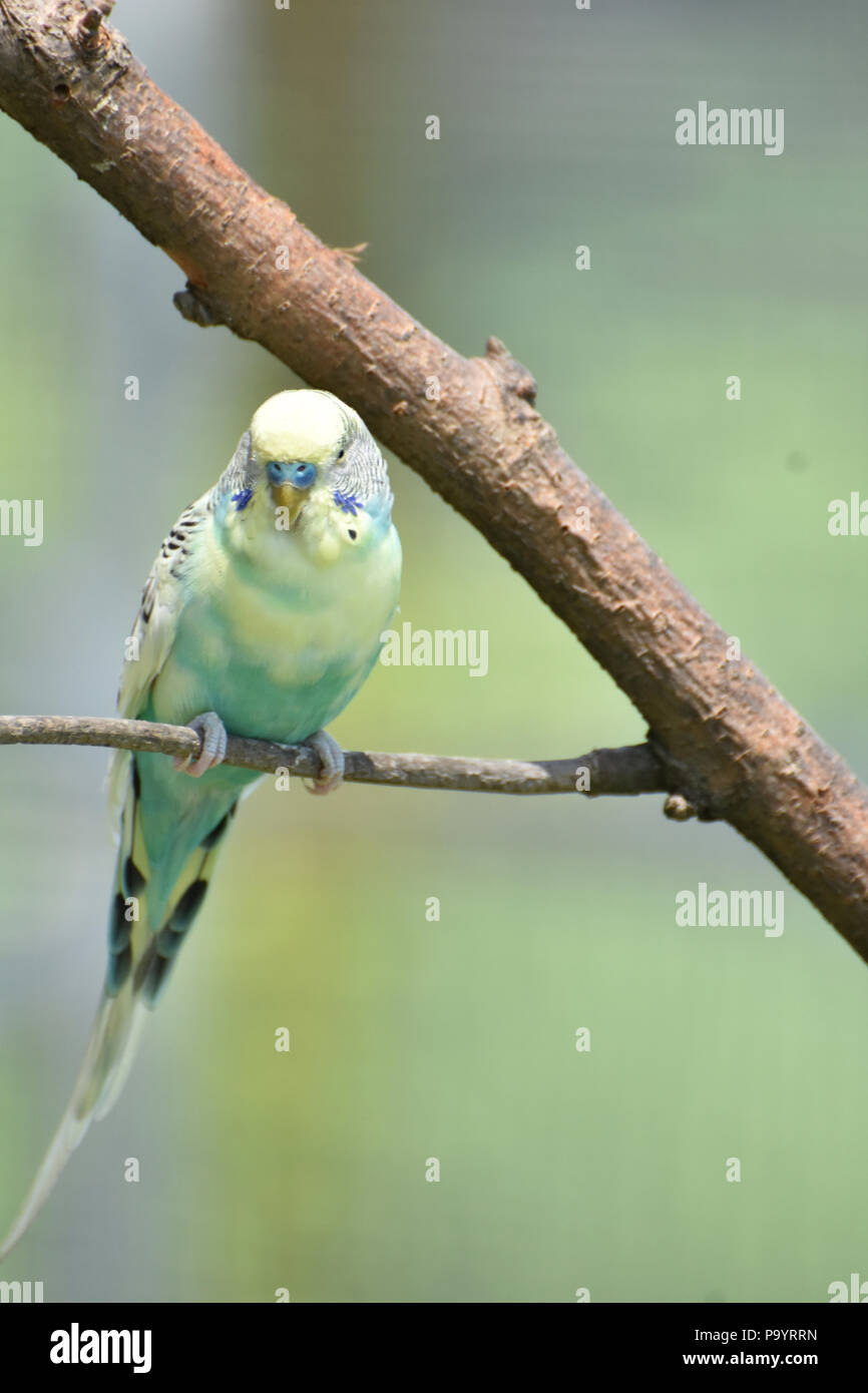 Gorgeous pastel budgie balanced on a tree branch. - Stock Image