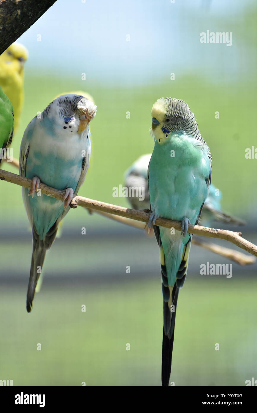 Pale pastel budgies perched on a tree branch. - Stock Image