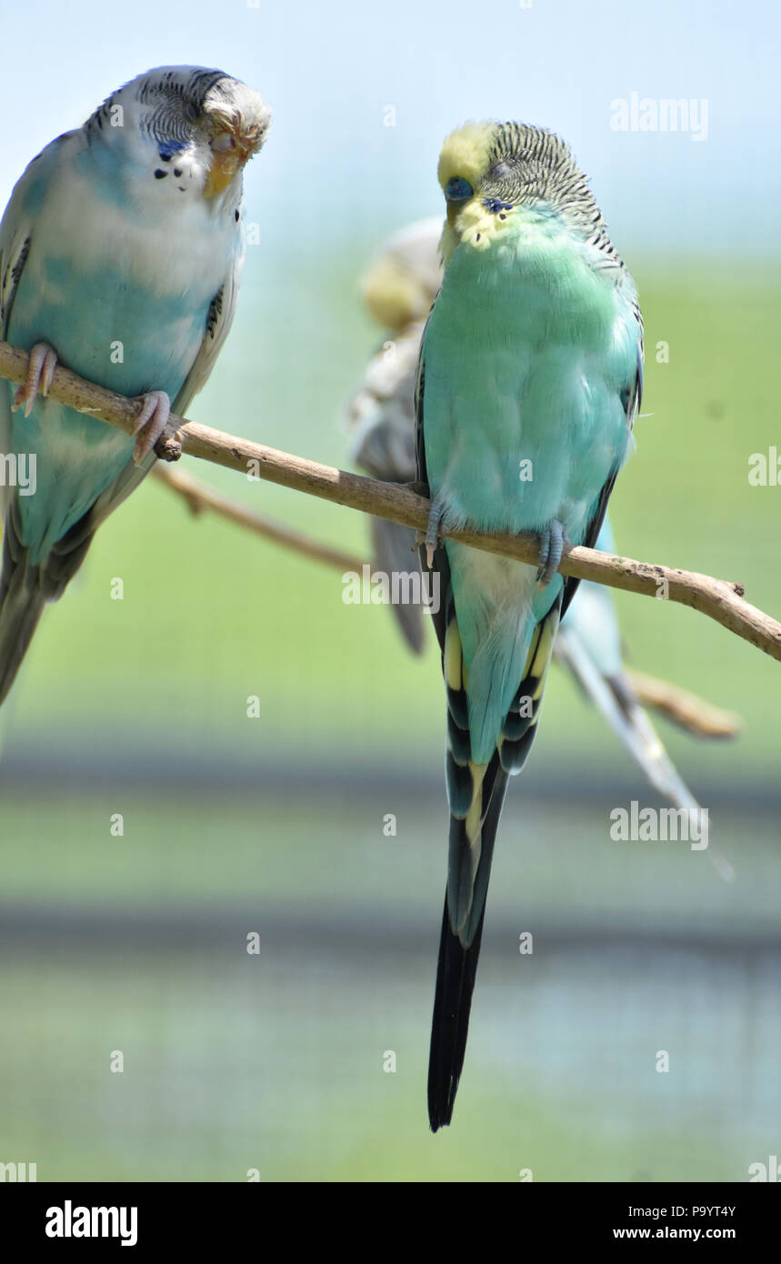 Pair of pastel colored budgies sitting on a branch. - Stock Image