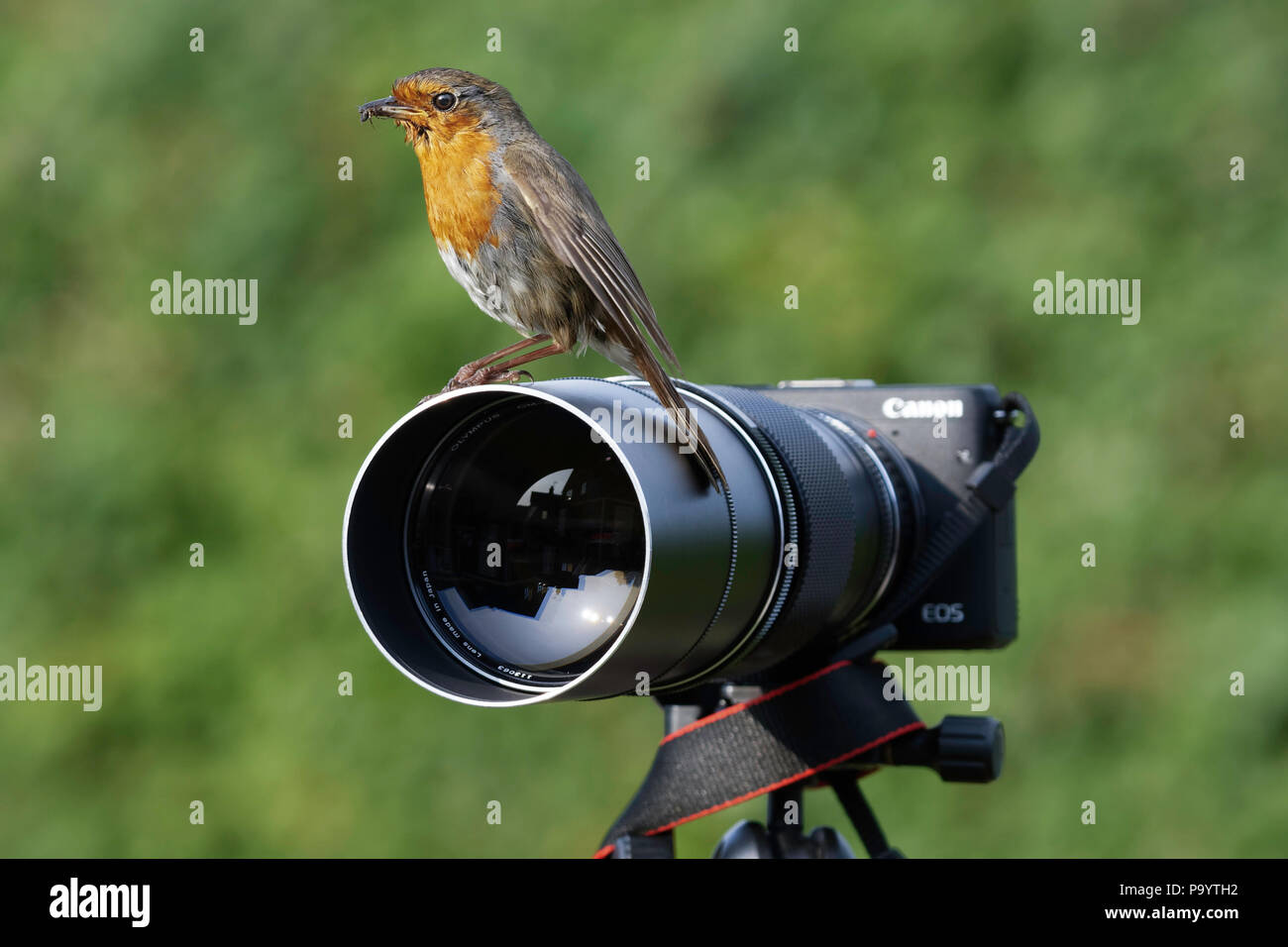 a cheeky robin using a digital camera as a perch Stock Photo