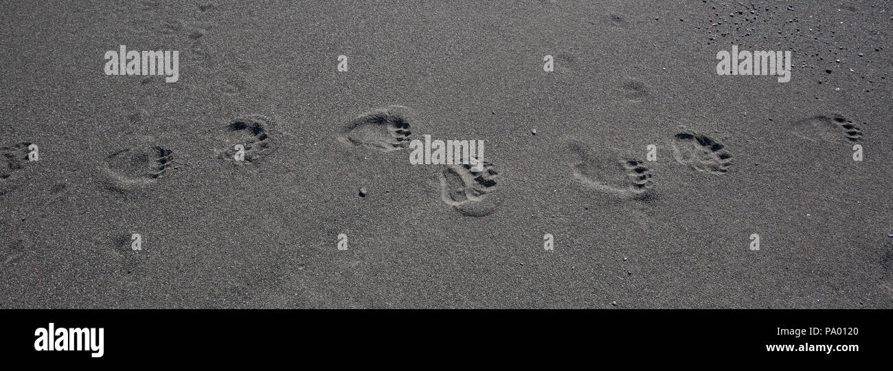 Brown Bear tracks on a beach in Kamchatka - Stock Image