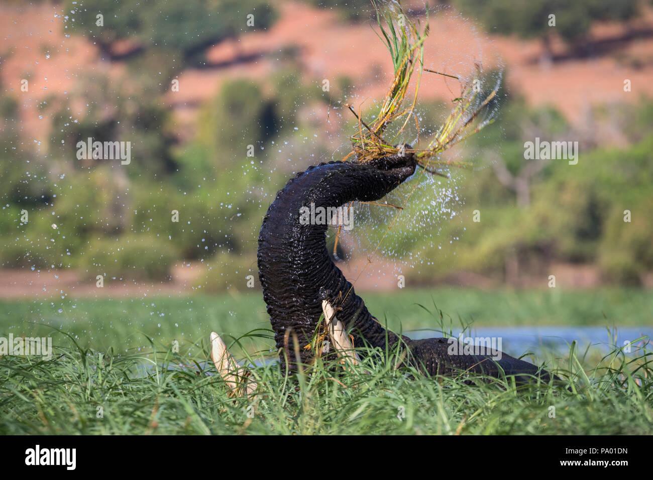 Elephant (Loxodonta africana) feeding in Chobe river, Chobe national park, Botswana - Stock Image
