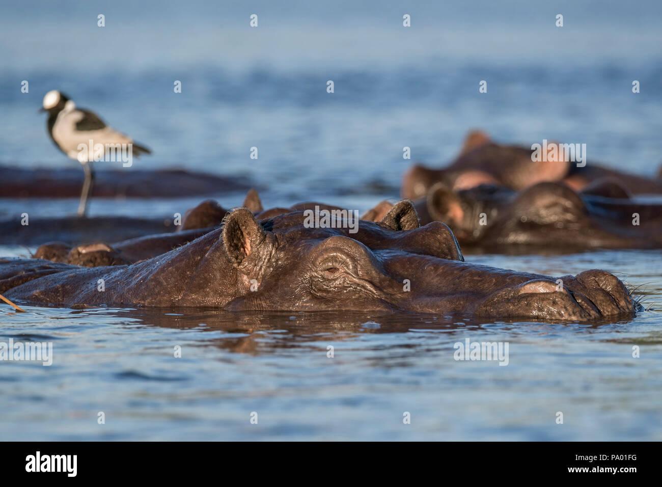 Hippos (Hippopotamus amphibius), Chobe river, Botswana - Stock Image